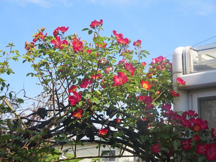 kakuteruue20140506.jpg