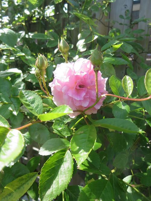 rose20140506.jpg