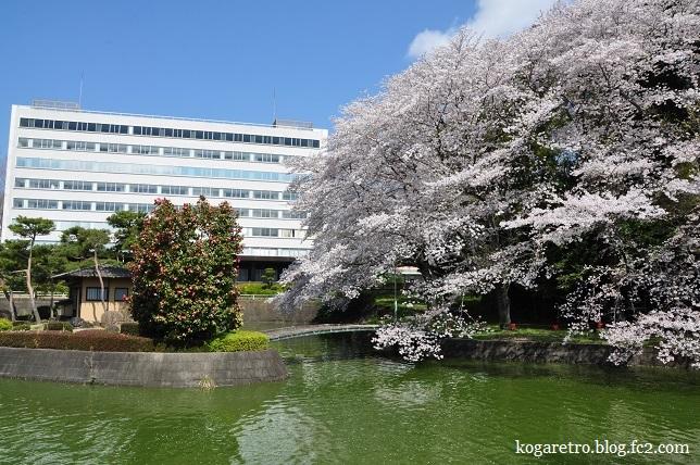 キョーリン桜2