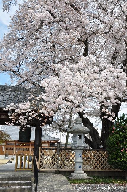 満福寺桜2