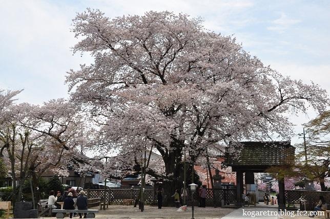 満福寺桜3