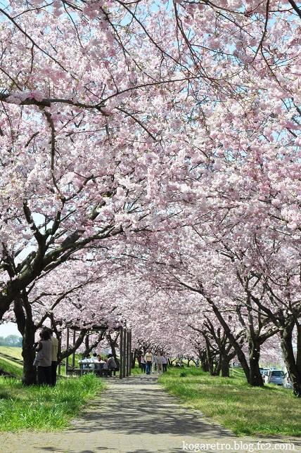 小山思川桜3