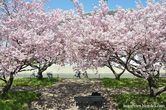 小山思川桜