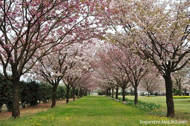 結城農場桜
