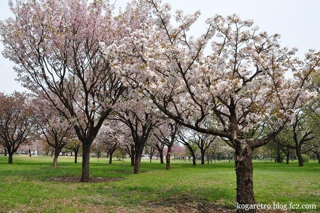 結城農場桜2