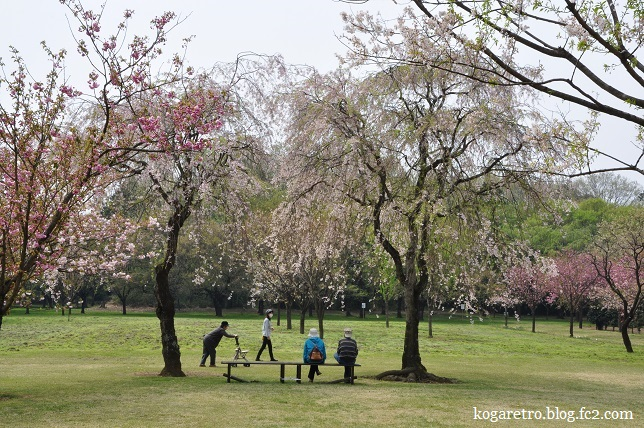 結城農場桜4