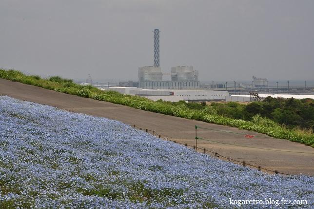 ひたち海浜公園ネモフィラ3