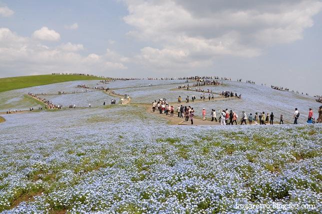 ひたち海浜公園ネモフィラ2