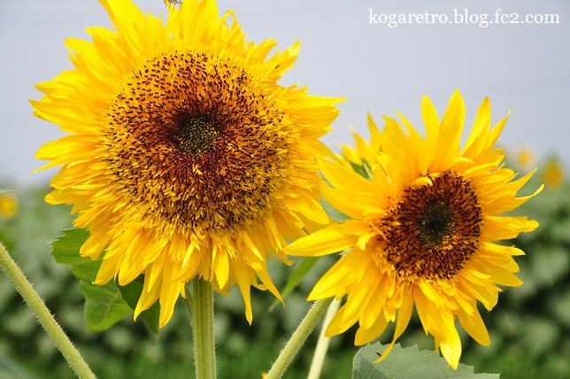 野木のひまわり開花4