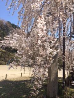 4月12日 孝子桜の様子