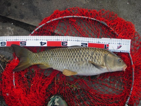 中川 鯉 54cm