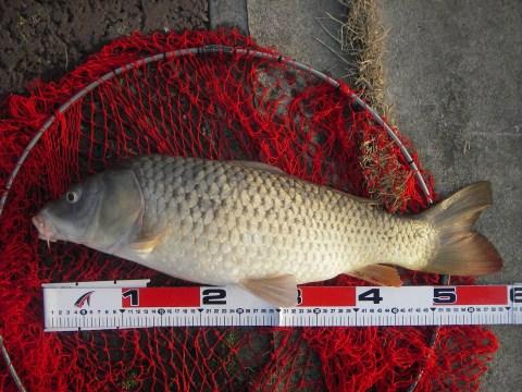 中川 鯉 58cm