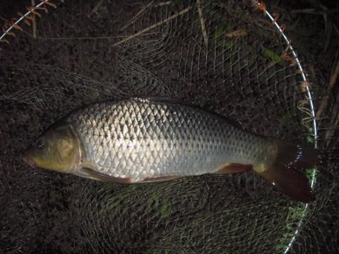 中川 鯉 43cm