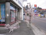 店桜blog