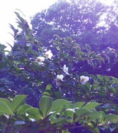夏椿、沙羅双樹の花