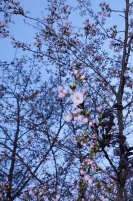 2014年4月1日 草川原公園の桜
