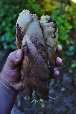 ちびっこの掘った筍3本