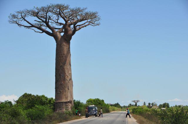 バオバブ木