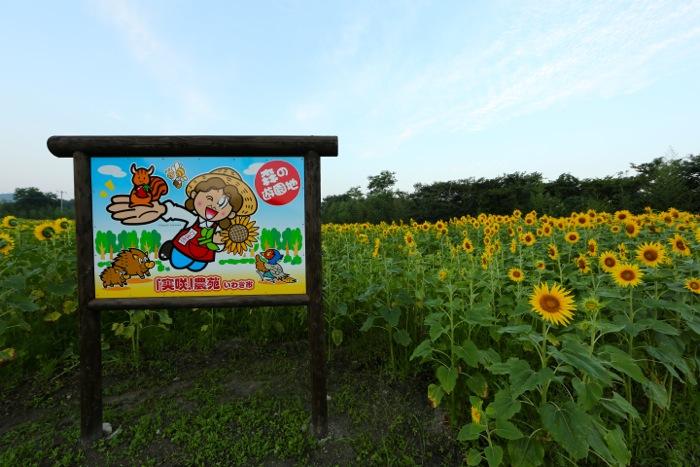 ひまわり畑01