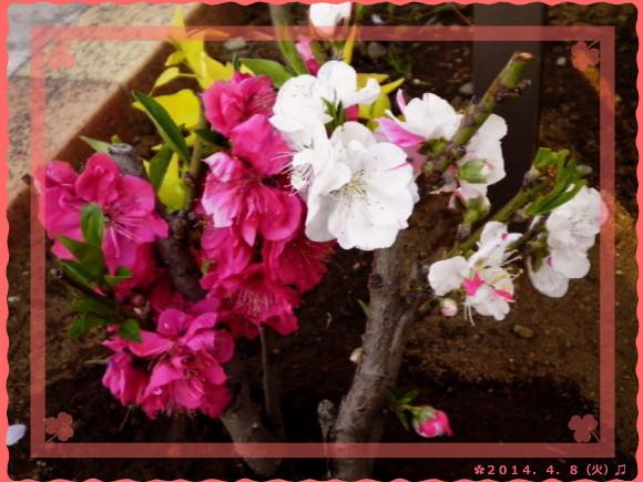花ブ20140409-2