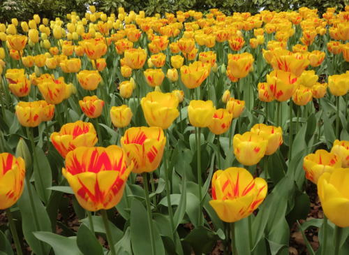 20140413_ypk_tulip_12