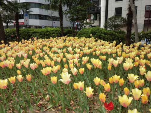 20140413_ypk_tulip_4