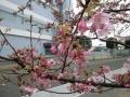 寒桜_2014_0220_123523