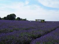 Lavender+Field+001_convert_20140806050046.jpg