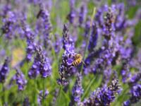 Lavender+Field+059_convert_20140806045953.jpg