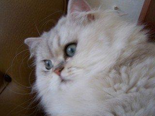 le chat blanc nbAiZ4ToPVXc60r1396874385_1396874412