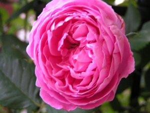 薔薇 ラレーヌビクトリア