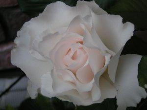 薔薇 マーガレットメリル