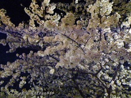 夜桜2014 act1