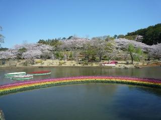 4、虹のチューリップと桜