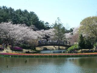 5、虹のチューリップと桜の逆景1