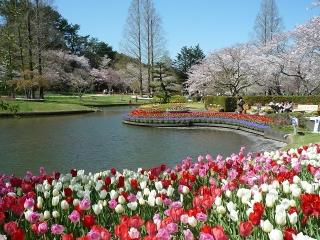 6、桜とチューリップ4