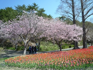 7、桜とチューリップ7