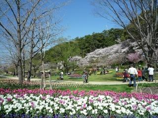 9、桜とチューリップ11