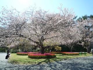 8、桜とチューリップ9