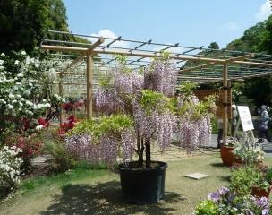 鉢植え藤や藤棚