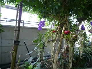 ガジュマルの花1