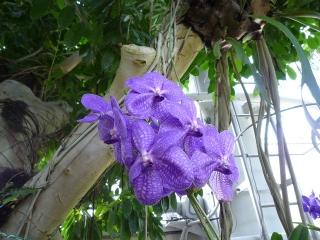 ガジュマルの花2