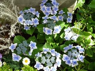 温室紫陽花1