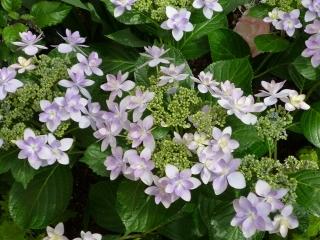 温室紫陽花2