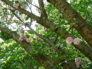 高松稚児桜