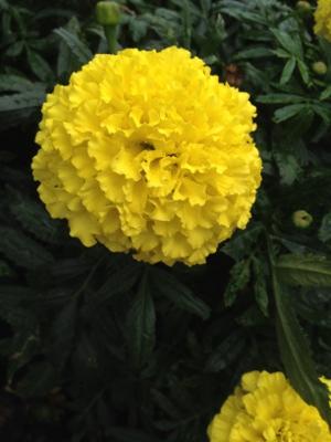 近所の花々1