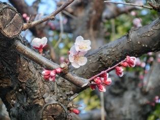 桜ももうじき