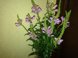 玄関の花 花虎の尾画像