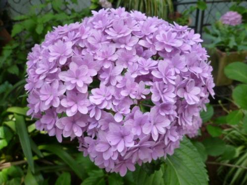 紫陽花の山 坂野♪
