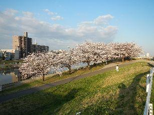 通勤路 桜4-1 (5)